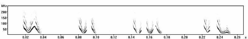 Glossophaga distress calls spectrogram