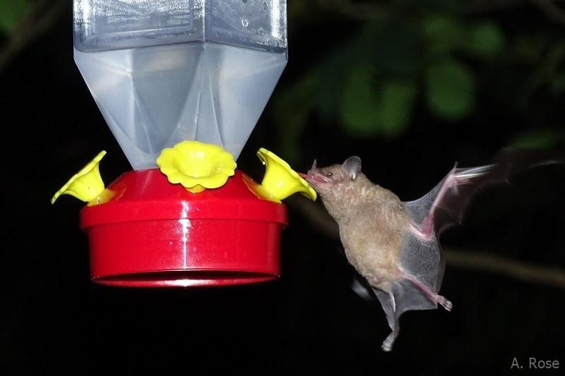 Glossophaga soricina at hummingbird feeder