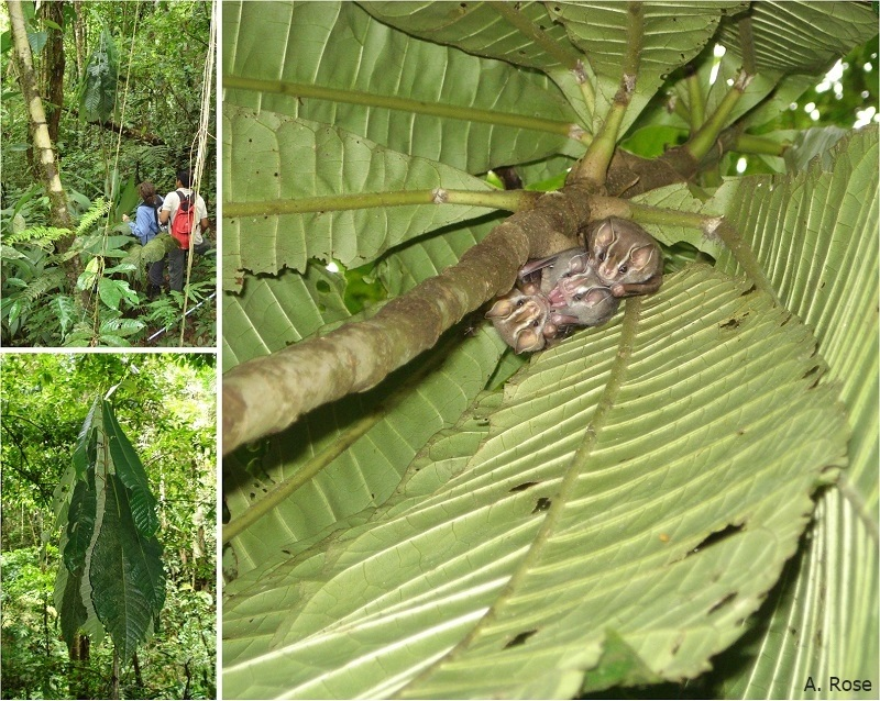Uroderma bilobatum in a leaf-tent in Costa Rica