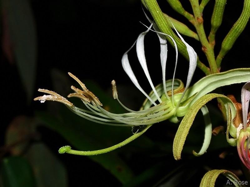 Flower of Bauhinia ungulata
