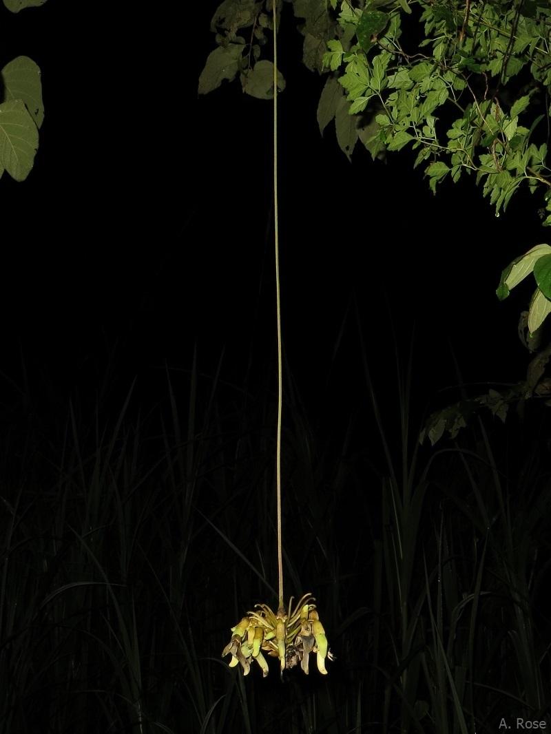 Flower of Mucuna holtonii