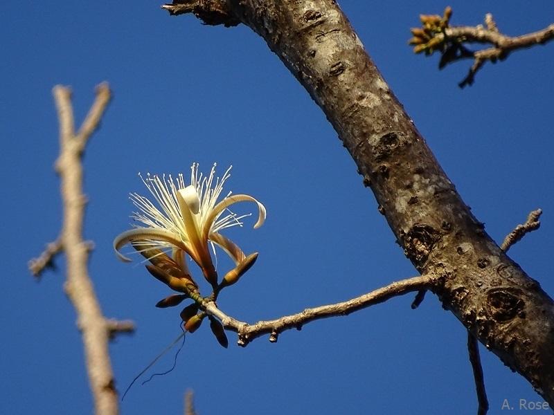 Flower of the Pochote tree (Pachira quinata)