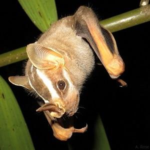 Phyllostomidae
