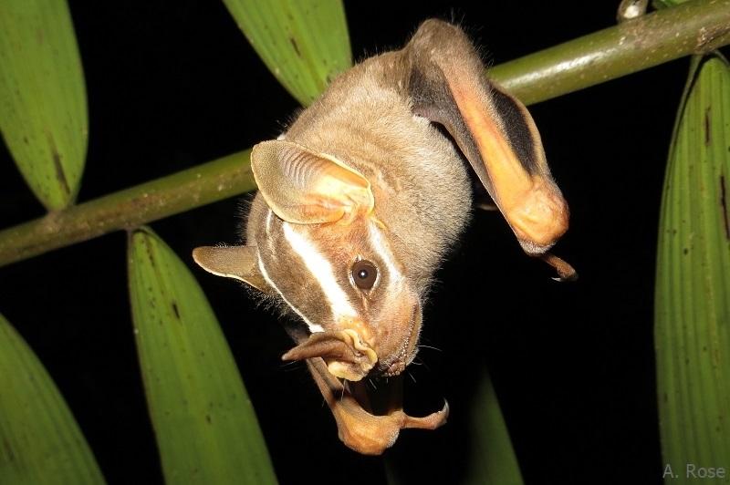 Vampyrodes caraccioli on palm leaf