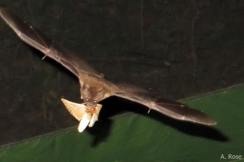 Glossophaga hawking moth