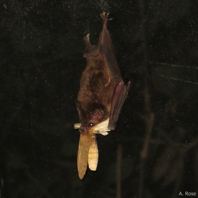 Glossophaga feeding on moth