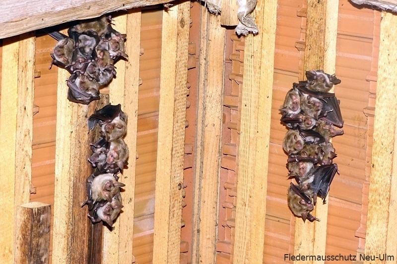 Myotis myotis nursery roost